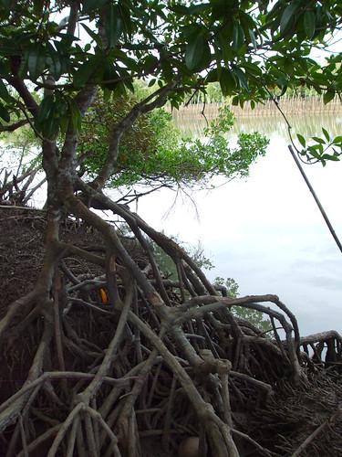 bohol mangroves