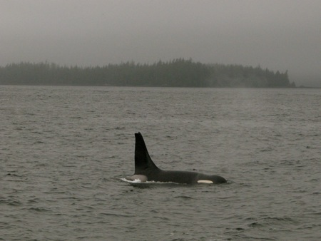 Orca off Ketchikan, Alaska