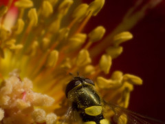 Little Fly (crankykoopa) Tags: flower macro insect fly dof bokeh olympus stamen pollen vivitar f25 orton series1 105mm e510