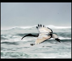 Fly (Chris McLoughlin) Tags: africa sea wild holiday bird nature closeup southafrica fly flying day wildlife sony tamron kommetjie a300 70mm300mm sonya300 tamron70mm300mm sonyalpha300 alpha300 chrismcloughlin