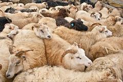 Rttir  Staarsveit (olikristinn) Tags: pen iceland sheep ii fold foss 2009 folding rttir kindur snfellsnes icelandic gaul snaefellsnes sheepfold sheepcote rtt sheeppen lftavatn alfavatn staarsveit stadarsveit september2009 kinduris wwwkinduris