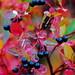 Aronia bær - Antioxidant