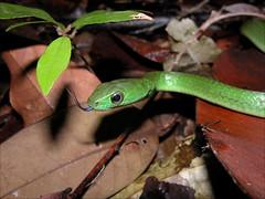 Photos nature (macquetos) Tags: roura guyanefranaise guyanefranaise 973guyanefranaisecayenne 973guyanefranaisecayenne notropique chironiusscurrulus