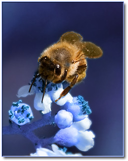 Bee on Blue