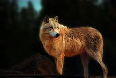 white wolf (LynchburgVirginia ) Tags: wolf yellowstone wolves photocontesttnc11