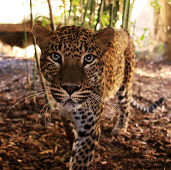 "Big Cat ""Leopard"" (S@ilor) Tags: espaa animal cat zoo big spain mediterranean south leopard costadelsol andalusia andalusien malaga pantherapardus fuengerola mywinners silor flickrbigcats"