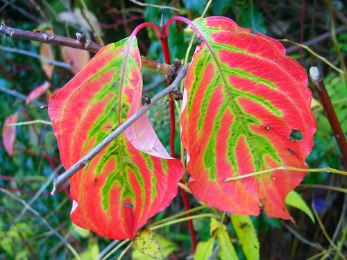 dogwood leaves
