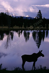 Moose, Yellowstone National Park, Wyoming (g311) Tags: lake water animal silhouette nationalpark wildlife moose yellowstone wyoming wy geoffreycoleman