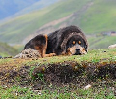 Nomads Loading The 80 Yaks at Manigango (reurinkjan) Tags: tibet tibetan kham tibetanmastiff 2009 nomads manigango homeguard dege canislupusfamiliaris dokhyi drokba tibetanethnicity brogpa        janreurink  mastiffherdsmansdogbrogkhyi garzeganzitibetautonomousprefecture