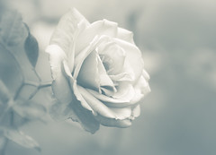 A Rose (alan shapiro photography) Tags: white flower fall monochrome rose mono blossom exploring bloom canonrebel pure 2009 wandering purity roaming alanshapiro simplifying wonderfulworldofflowers ashapiro515 canonrebelt1i magicunicornverybest magicunicornmasterpiece 2010alanshapiro alanshapirophotography wwwalanwshapiroblogspotcom 2010alanshapirophotography
