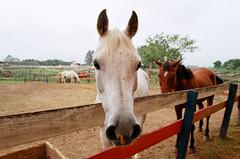 Horse (Marcelo M P Mariano) Tags: horses foto sp e cavalos clube nikonf80 fotoclube sigma2470mmf28dgmacro urbanova fisp fujicolorprovalue200 sojosdoscampossp hpicaunivap wwwmarcelompmarianocombr