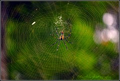 / Spider ( / Karthikz) Tags: black green nature yellow spider wildlife web series spotted wayanad d40 edakkalcaves karthikz