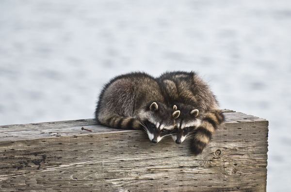 racoons at Ocean Shores