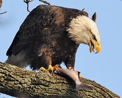 Eagle With Fish (Angel Cher ) Tags: portrait fish bird portraits river lunch photography md nikon photographer eagle dam lol wildlife flight baldeagle nj maryland raptor cher catch vulture d3 wildlifephotographer susquehannariver birdwatcher americanbaldeagle conowingo conowingodam wildlifephotography abigfave flickersbest sharinglifesjourney newjerseyphotographer angelsphotos angelcher njphotographer angelchersphotography nikon500mm angelcherswildlifephotography lmaotags angelchersimages cherswildlifeandnaturephotos angelcherlovesphotography angelcher65onzazzle angelcherisonqoop nikographerfriend shootpicsfriend petez28friend nikographerjonfriend angelcheristagging wildliefephotographernj njwildlifephotographer angelcherphotoshelter