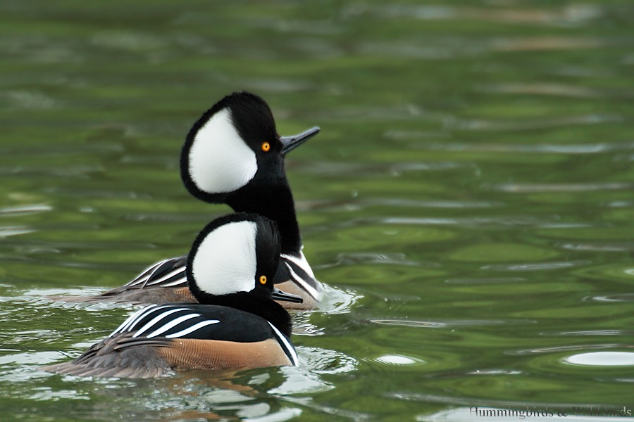 Hooded Merganser 12091-9