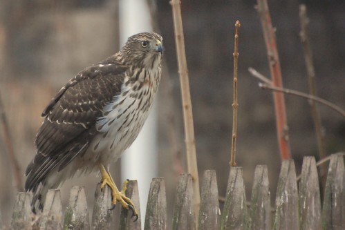 Surprise! Immature Cooper's Hawk?