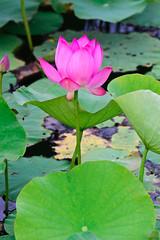 DSC_0604 (neofedex) Tags: flower lotus    nelumbonucifera