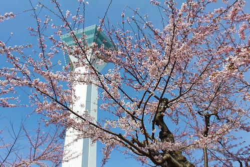 Cherry Blossom at Goryokaku