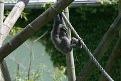 Graues Gibbonjunges