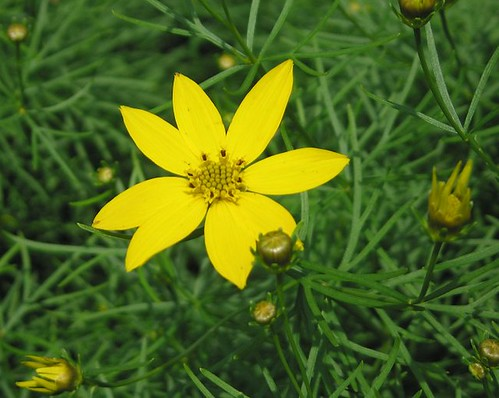 Coreopsis, June 2011. by Leenechan