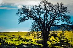 Day 44 ~ baren tree on a ridge (champbass2) Tags: california usa blackbuttereservoir tree deciduoustree treeonaridge 3652017 2017 ridge greengrass day44 day44365 day365project