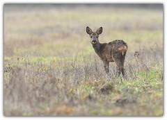 Chevrette (guiguid45) Tags: nature sauvage animaux mammifères forêt loiret d810 nikon 500mmf4 chevreuil chevrette capreoluscapreolus brocard roedeer ree