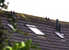 Aerodynamics . . (Eduard van Bergen) Tags: birds birdwatching pairs couples male female crows black gale wind storm aerodynamics rooftop lee overshoot fly flying gliding blow blowing east west rains wet feathers wings eyes sight house air bright scholar educated learning nature sony ilce alpha 5000 seiko sigma manual hawkeye ornithology holland dutch netherlands niederlande paysbas low lands intelligence scholars intellect brain cortex neo