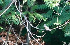 Female Belted Kingfisher (Joseph Hoetzl) Tags: newjersey nj kingfisher echolake beltedkingfisher femalebeltedkingfisher megacerylealcyon cerylidae