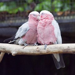 Roseate Cockatoo or Galah (Stev