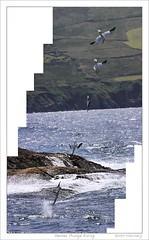 Gannet Plunge Dive Series #2 (HaukeSteinberg.com) Tags: ireland bird birds animal animals wildlife cork flight dive irland series feed hunt beara gannet plunge éire allihies