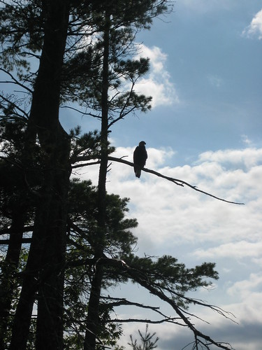 This Bald Eagle was hanging around on Ogre Island watching the loon family. The parents hooted warnings and kept tight with the chicks.