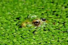 Froschn (Bastian Engel(back again)) Tags: wild music macro berlin green eye nature water animal germany stars deutschland star eyes wasser flickr heart awesome ballon natur photographers award gone frog estrellas winner grn engel capture makro acg frosch auge brilliant platinum finest tier bastian beuatiful bej naturest platinumheartaward