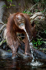 Orangutan Fountain (Burrard-Lucas Wildlife Photography) Tags: cute water indonesia funny play young borneo orangutan ape squirt playful primate kalimantan