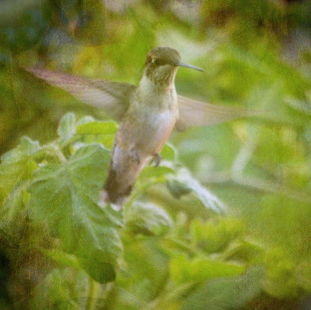 Hummingbirds - Jewels of the Aviary World