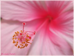 My fave flower ! (Prakash Goteti) Tags: pink hibiscus pollen stigma prakash goteti