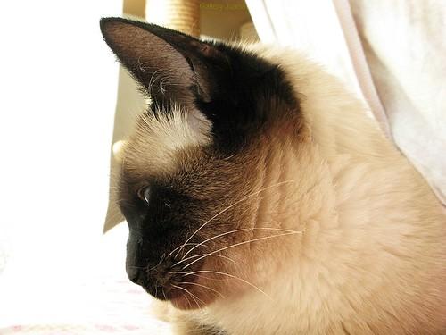 Sputnik, my Siamese Cat