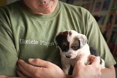 uke dog (Frank, Jr.) Tags: old dog chien female 35mm mutt 5 canine perro hund pies doggy weeks pooch mixedbreed 2009 doggie hundur augie pes cur poidog 5weeksold takenbygi canonef35mmƒ20 canonef35mm12 unchiendelillinois 125bordercollie 125miniatureschnauzer 75mutt pedigreemongrel probablysomekooikerhondje