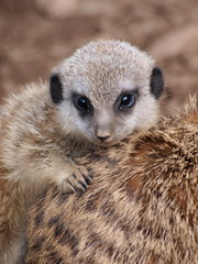 Baby meerkat (johnb/Derbys/UK) Tags: nature interestingness meerkat pov olympus twycrosszoo justmeerkats suricatasurcatta leicestershireuk