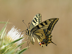 Swallowtail; Papilio machaon (m. geven) Tags: france bravo f nectar frankrijk provence sideview southernalps swallowtail distel sisteron whiteflowers koninginnepage foraging papiliomachaon francefrankrijk specanimal onderaanzicht zijaanzicht hautesprovence underwingview fouragerend foeragerend wittebloemen roltong zuidelijkealpen