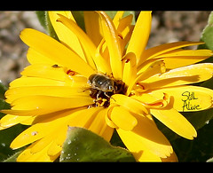 flower (Still Alive ..) Tags: flower nature yellow closeup canon insect natural q8 stillalive 400d moiq8