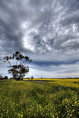 Canola Field Part 5 /  5 (kth517) Tags: spring australia  yellowflowers    canolafield 24105mm bellarinepeninsula victoriastate