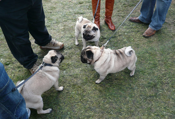 Cliff and Daves Pug Rupert made some friends!