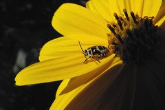 Eurydema ornata (vega*) Tags: madrid wild plant flower macro planta animal bug insect flor vega insecto chinche salvaje euridemaornata helianthumtuberosum