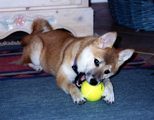 Kishi-puppy