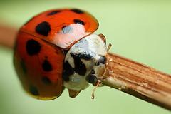 Harlequin ladybird #3 (Lord V) Tags: macro bug insect ladybird harlequin vosplusbellesphotos