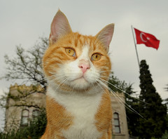 Orange Kitty of Beyazit shows his colors, Istanbul, Turkey, October  4, 2009 (Ivan S. Abrams) Tags: dog cats dogs cat turkey tdi boats soldier army boat nikon ship muslim islam ships kitty tram istanbul mosque animalrescue kitties imf masstransit lightrail streetcar trams tramway topkapi taksim galatasaray dolmabahce istiklal bosphorus worldbank humane trolleycar fenerbahce bombardier constantinople smrgsbord grandbazaar streetcars istanbuluniversity eminonu beyazit ortakoy trolleycars urbantransportation electricrailway turkisharmy d700 serkeci onlythebestare ivansabrams trainplanepro electricrailways ivanabrams cafedeniz abramsandmcdanielinternationallawandeconomicdiplomacy ivansabramsarizonaattorney ivansabramsbauniversityofpittsburghjduniversityofpittsburghllmuniversityofarizonainternationallawyer