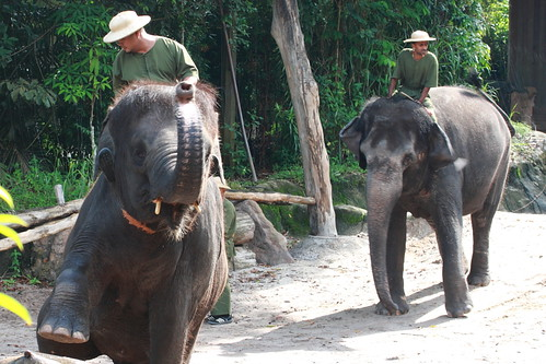 elephant show - elephant walk