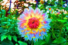 Vincennes parc floral 57  les Dahlias (paspog) Tags: autumn paris automne herbst dahlias vincennes parcfloral abigfave platinumphoto flickrdiamond theunforgettablepictures