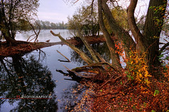 Doug the Tree... (Funky Slug) Tags: autumn lake tree wet water leaves misty dead geese interestingness still ducks explore dying autumnal decayed leybourne leybournelakes explored fsphotography brianstevenson funkyslug httpfunkyslugwordpresscom httpwwwfsphotographyonlinecom
