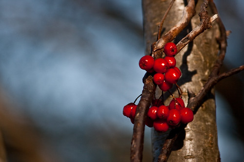 Dogberries at Long Pond